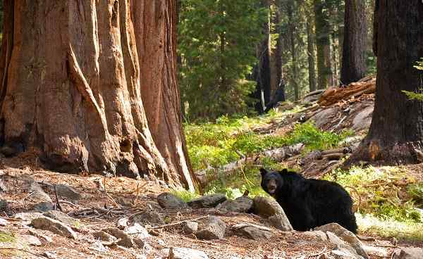 BESTE-KALIFORNIEN Black Bear in Sequoia National Park 37252096
