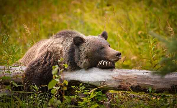 BUS-WCAD-IPAS Wild Eastern Slopes Grizzly bear taking a rest in a mountain forest in summer Banff National Park Alberta Canada shutterstock 522134689