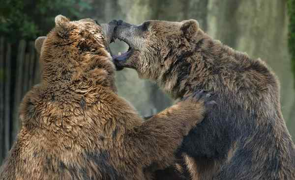 CAD-RM-TGC Kanada Two brown grizzly bears while fighting close up portrait