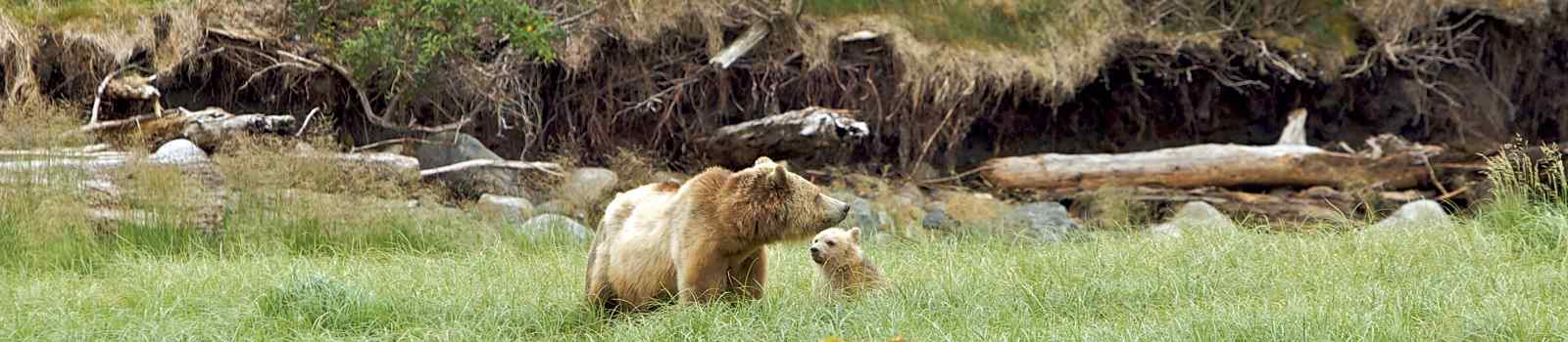 CAD-SACACOMIE Kanada Vancouver Island Grizzly bear in Canadian nature playing with cub
