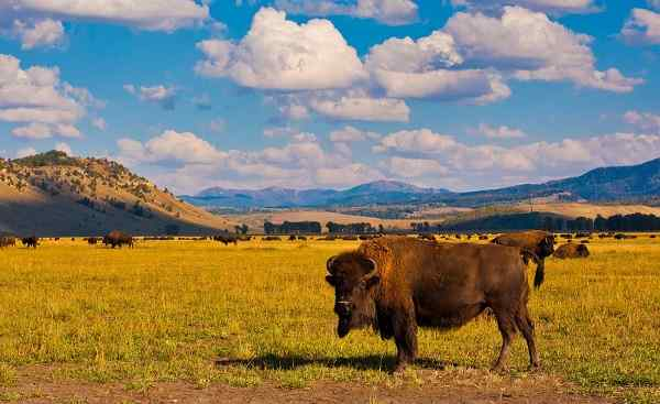 MOTORRAD-CAN-YEL_Yellowstone_National_Park_Bison Paradis_125195225 [1600x1200].jpg