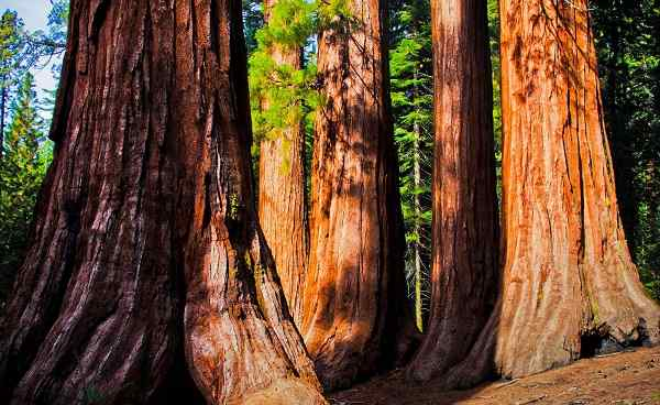 SEQUOIA-NATIONALPARK Kalifornien Yosemite NP Giant Sequoias 109335494