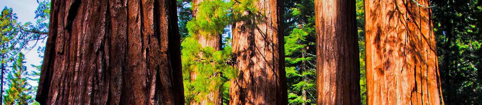 SEQUOIA-NATIONALPARK  Kalifornien Yosemite NP GiantSequoias 109335494