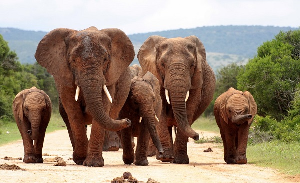 SF-CPT-BIGF A herd of elephants with baby calves approaches us 102111370