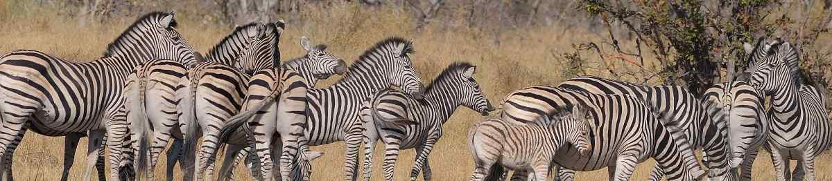 ZAMBEZI-QUEEN  Group of Zebra at Moremi national game reserve in Botswana 96238586
